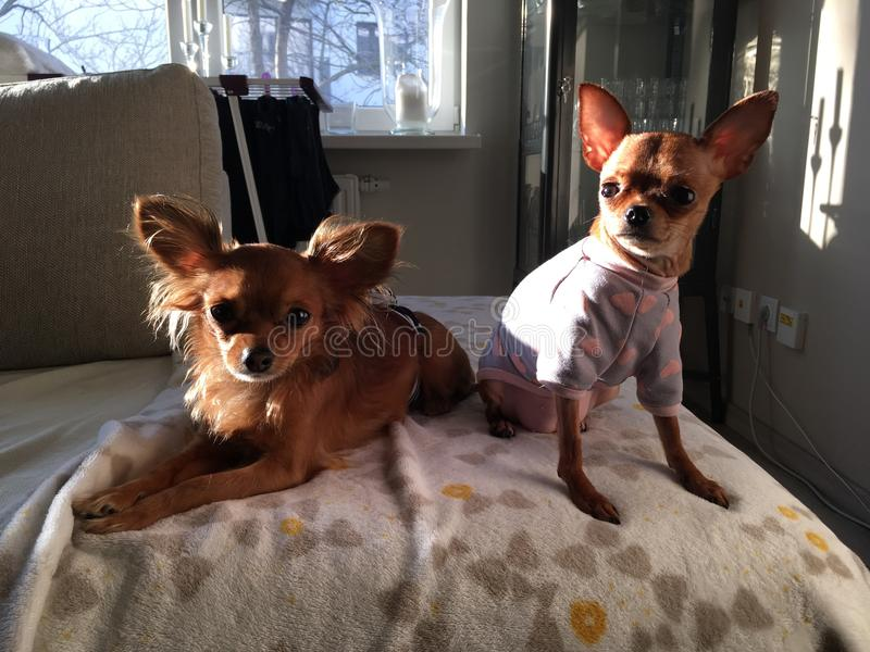 y x22; Lola y Gulle& x22; terrier de juguete ruso fotos de archivo