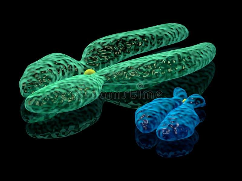 Y- och x-kromosomer royaltyfri fotografi