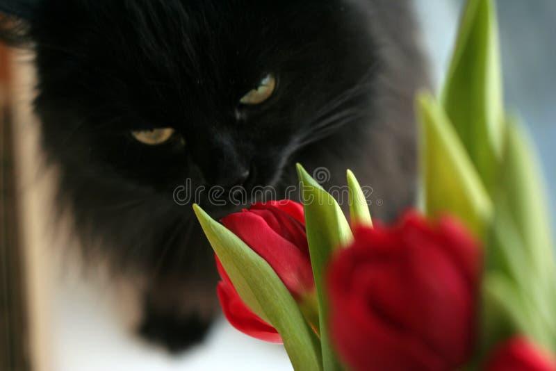 ?at y tulipanes imagen de archivo
