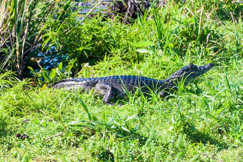 Yacare Caiman obrazy royalty free