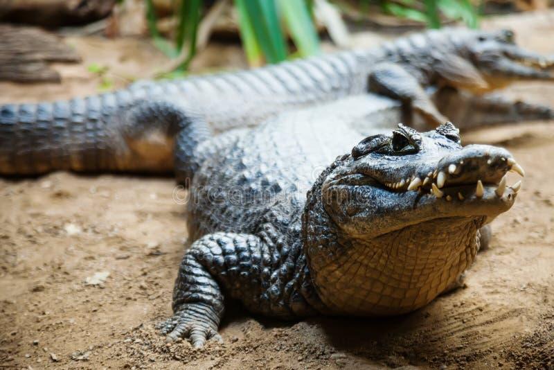 Yacare caiman στοκ εικόνες