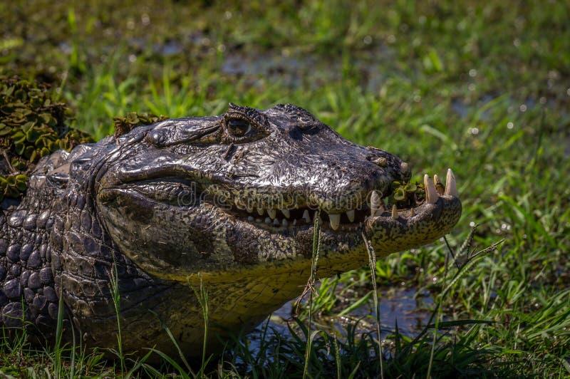 Yacare Caiman, crocodile in Pantanal, Paraguay royalty free stock image