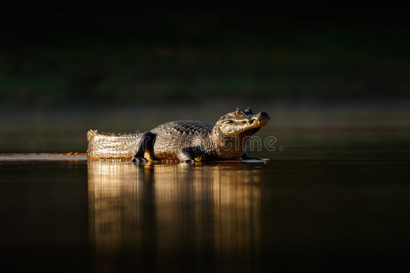 Yacare Caiman, gold crocodile in the dark water surface with evening sun, nature river habitat, Pantanal, Brazil royalty free stock images