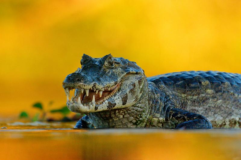 Yacare Caiman, Pantanal, Brazil. Detail portrait of danger reptile. Crocodile in river water, evening light. royalty free stock photos