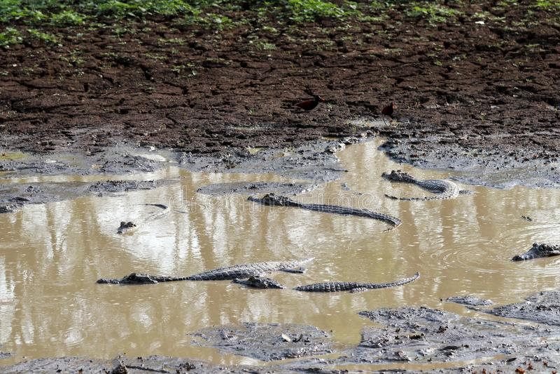 Yacare Caiman Caiman Yacare - Pantanal, Mato Grosso, Βραζιλία στοκ εικόνα με δικαίωμα ελεύθερης χρήσης