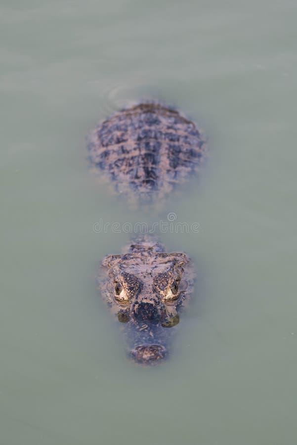 Yacare caiman prawie zanurzający w zieleni wodzie obrazy royalty free