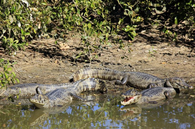 Yacare-Caimans stockfoto