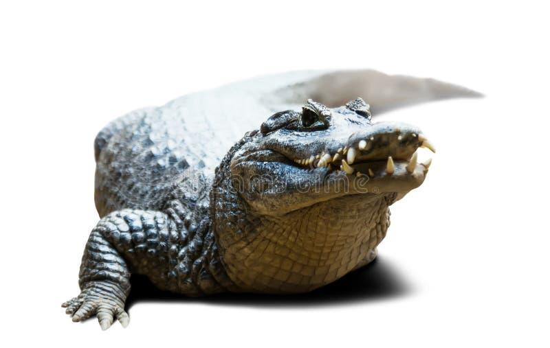 Yacare do caimão no branco com máscara imagem de stock