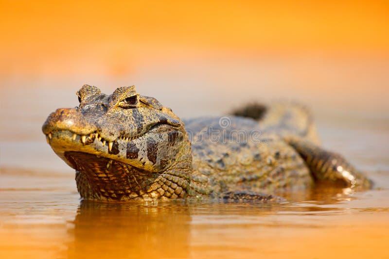 Yacare kajman, guld- krokodil i mörkret - orange aftonvattenyttersida med solen, naturflodlivsmiljö, Pantanal, Brasilien djurliv royaltyfria bilder