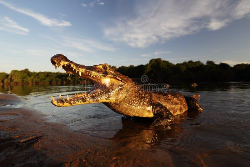 Yacare kajman, krokodil i aftonsolen, Pantanal, Brasilien arkivbild