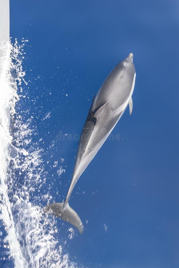 Yacht della scorta del delfino immagine stock libera da diritti