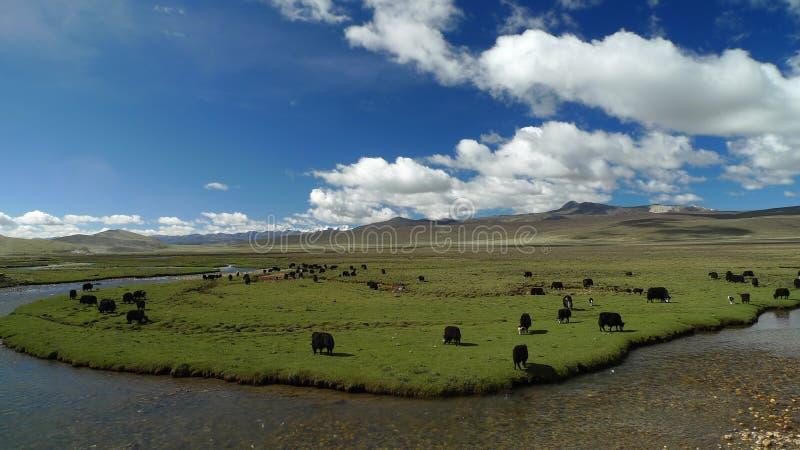 Yacs en el pasto de Tíbet fotografía de archivo libre de regalías