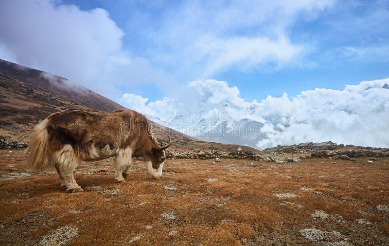 Yacs en la manera al campo bajo de Everest Monta?as de Nepal, Himalaya imagenes de archivo