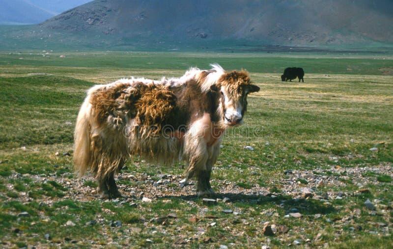 Yacs mongoles fotos de archivo