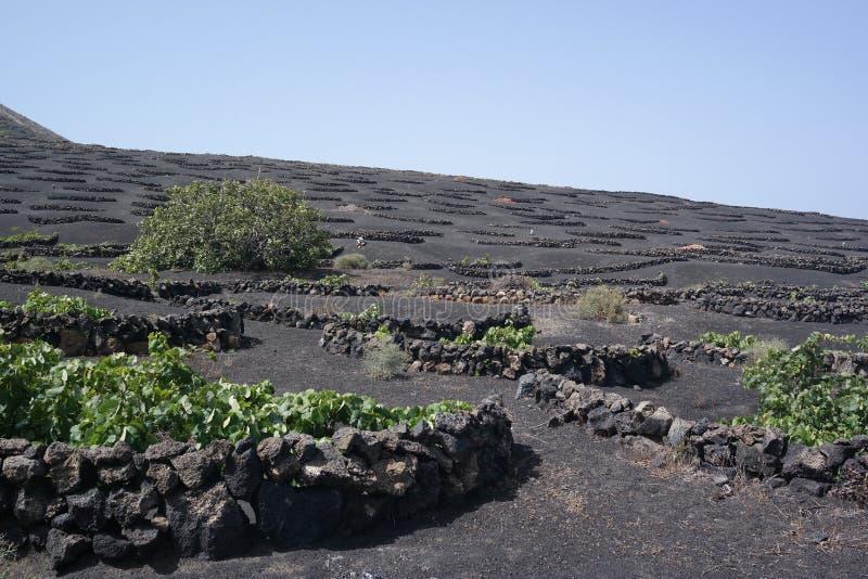 Yaisa grapewine领域,兰萨罗特岛,卡纳里亚海岛 免版税库存照片