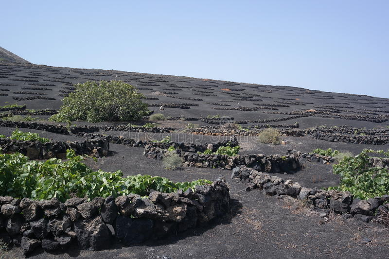 Yaisa grapewine fields, lanzarote, canaria islands royalty free stock photo