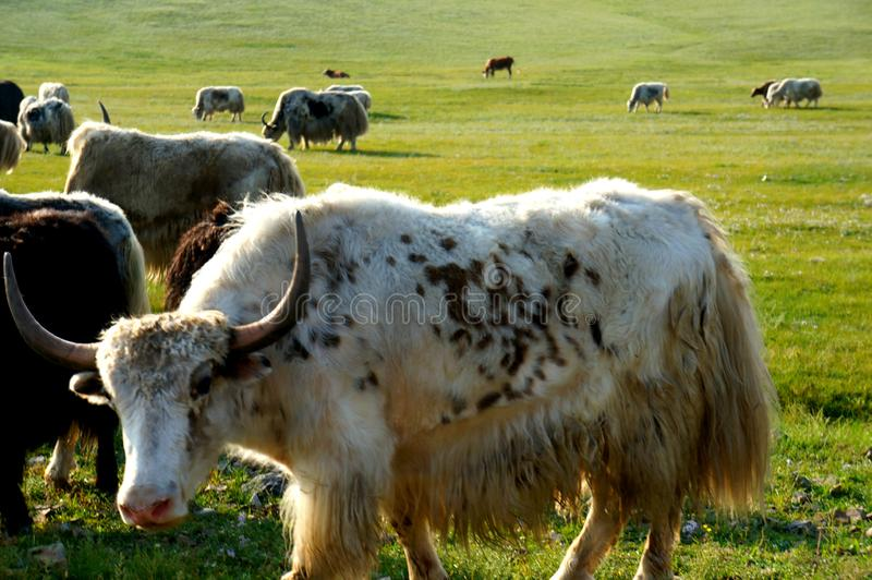 Yak ζώων της Μογγολίας καλλιέργεια ζωικού κεφαλαίου στεπών φύσης στοκ εικόνες