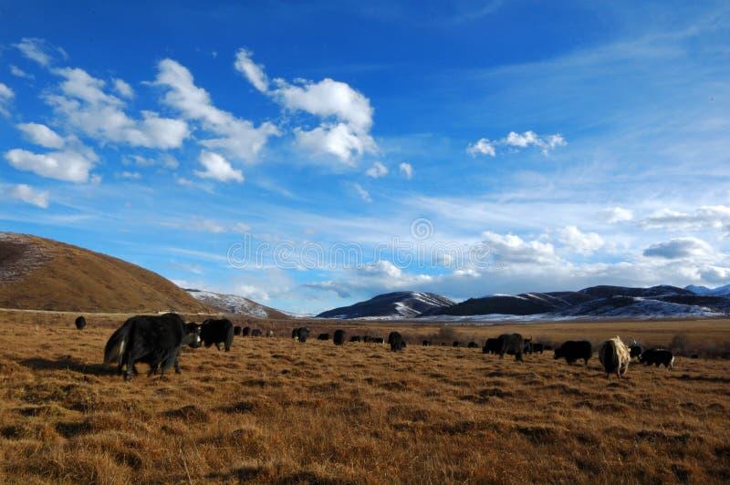 yak λιβαδιών στοκ εικόνα