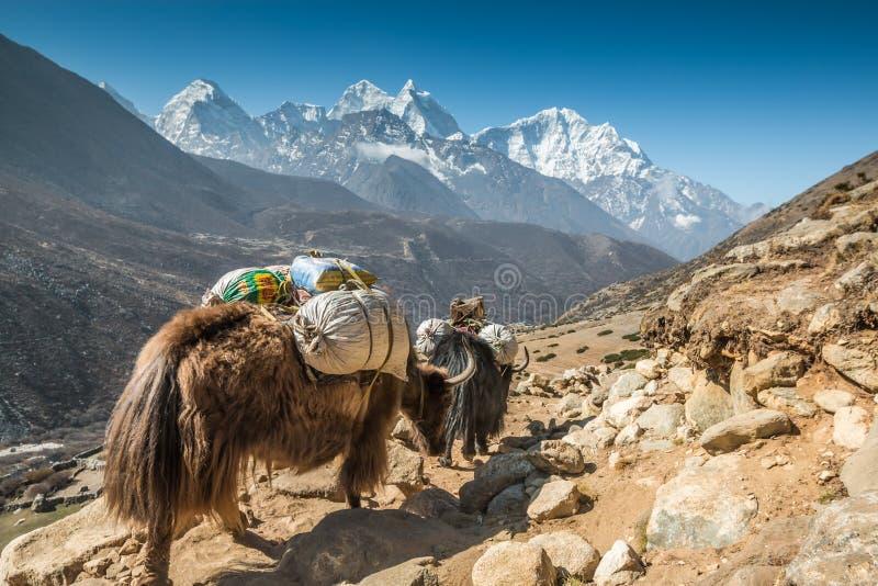 Yak σε Everest Νεπάλ στοκ φωτογραφίες