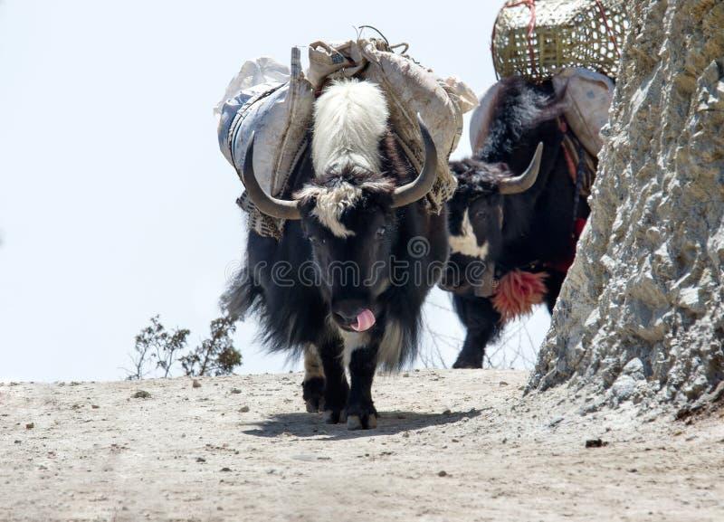 Yak στο ίχνος στο Νεπάλ στοκ εικόνα