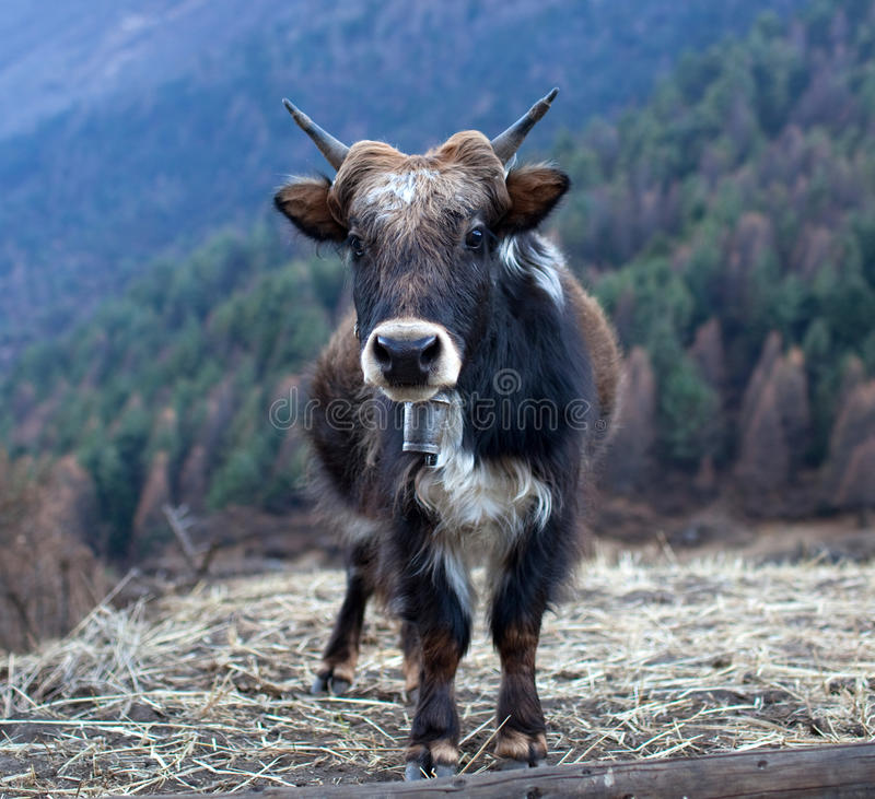 yak του Ιμαλαίαυ Νεπάλ στοκ εικόνα με δικαίωμα ελεύθερης χρήσης