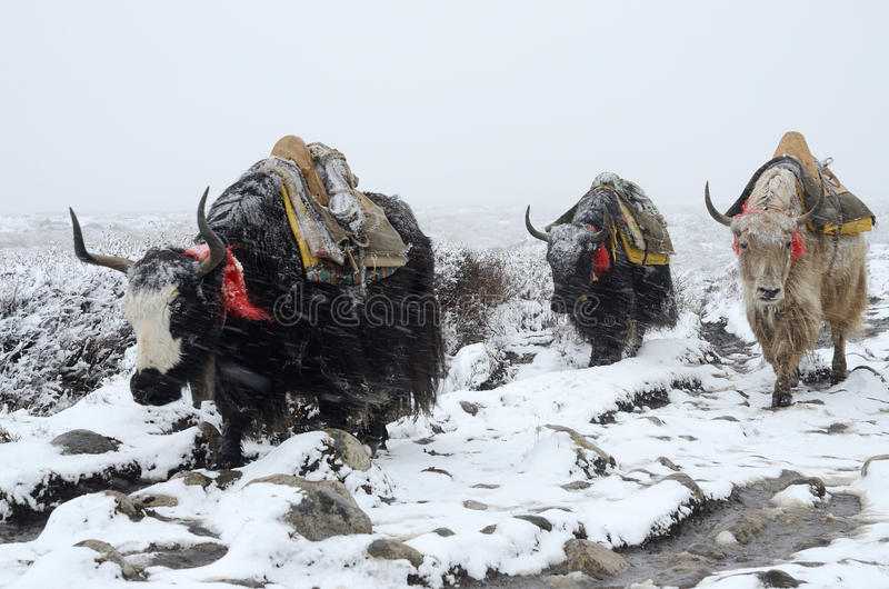 Yak τροχόσπιτο που πηγαίνει από το στρατόπεδο βάσεων Everest στη χιονοθύελλα, Νεπάλ στοκ φωτογραφία με δικαίωμα ελεύθερης χρήσης