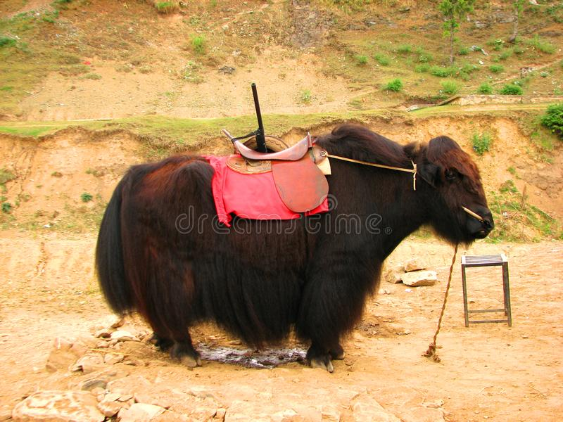 Download Yak stock image. Image of beef, animals, horn, front - 14876471