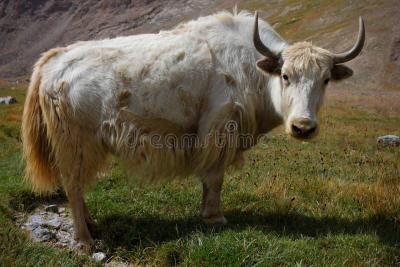 Download Yak stock image. Image of white, animal, mountain, tajik - 16479511