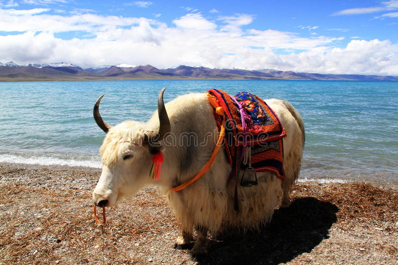 Download Yak stock image. Image of white, namuzo, lake, lakes - 27174647