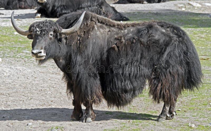 yak obraz stock