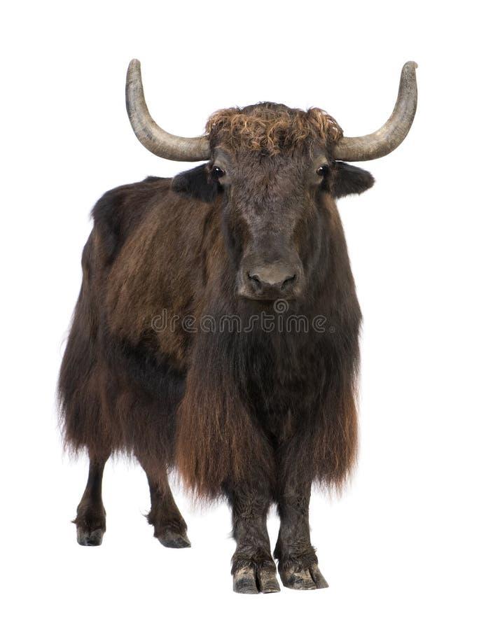 yak arkivbilder