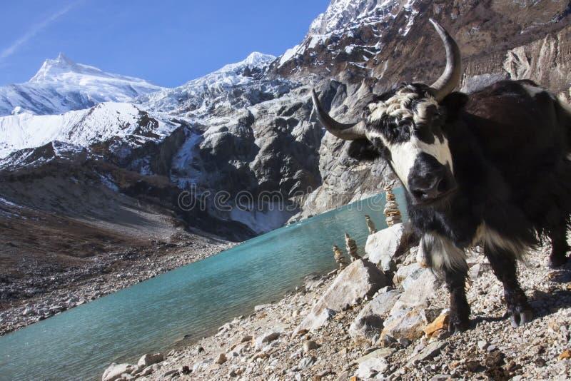 Yak accanto al lago glaciale sulla montagna di Manaslu nel Nepal fotografie stock