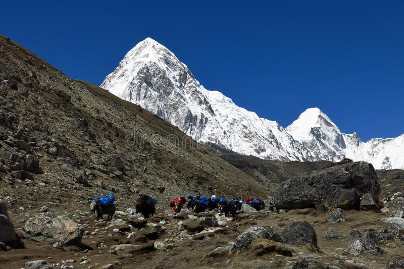 Yak caravan comming from Everest Base Camp and snow covered Pumo Ri stock photos