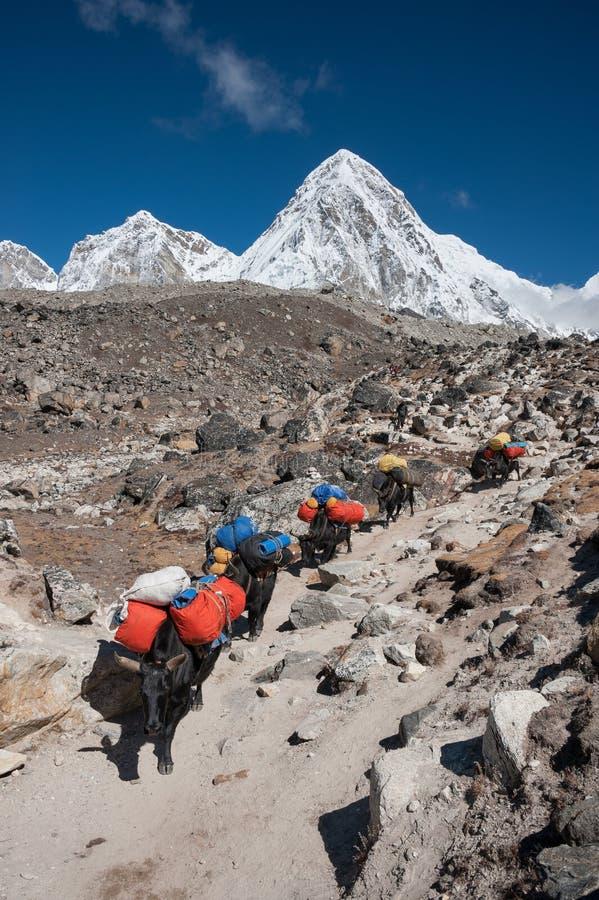Yak caravan in Himalayas of Nepal stock photo