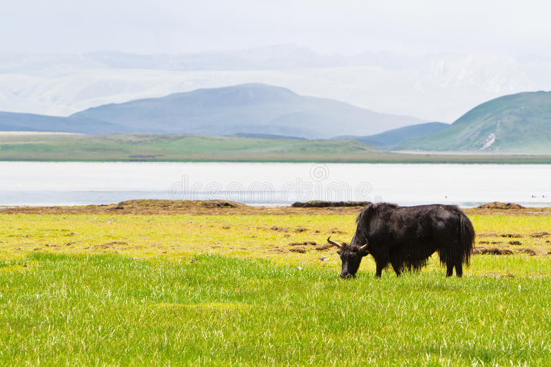 Download Yak Eating Grass Royalty Free Stock Photography - Image: 20615317