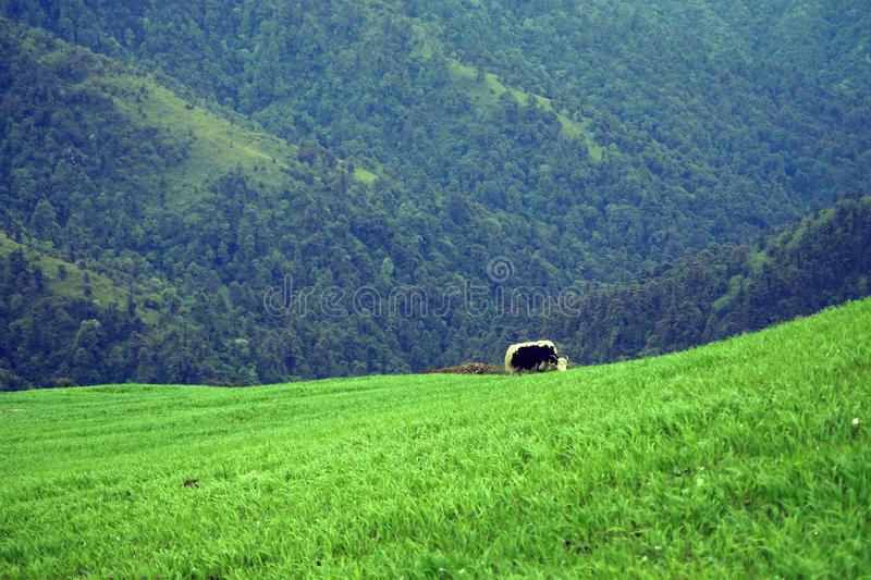 Yak grazing on lush green valley of Himalaya, India. Yak grazing on lush green valley of Himalaya, during hiking in singalila national park,India royalty free stock images