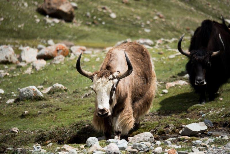 Yak in Himalajaberg-Tibet-Himmel und -wolken stockfotos