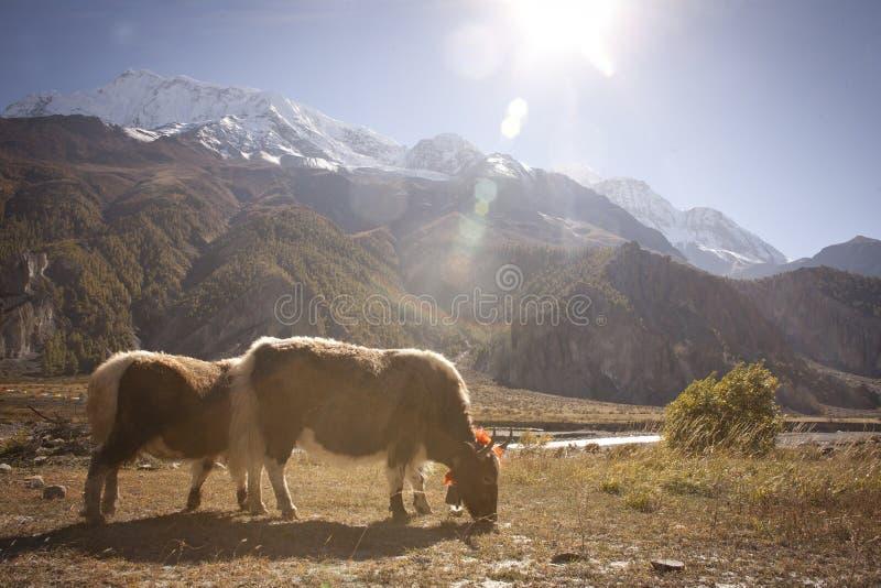 Yak i Himalaya royaltyfria bilder