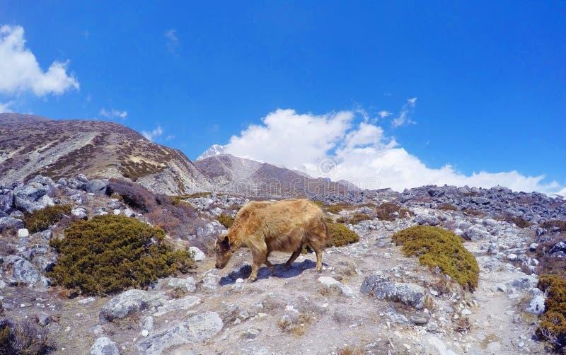 Yak i Himalaya, nära den Everest basläger arkivfoto