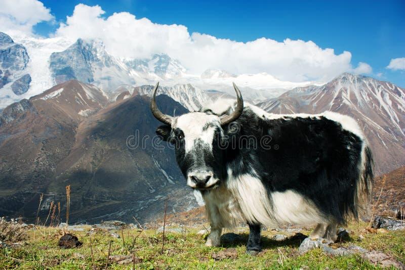Yak in Langtang fotografia stock libera da diritti
