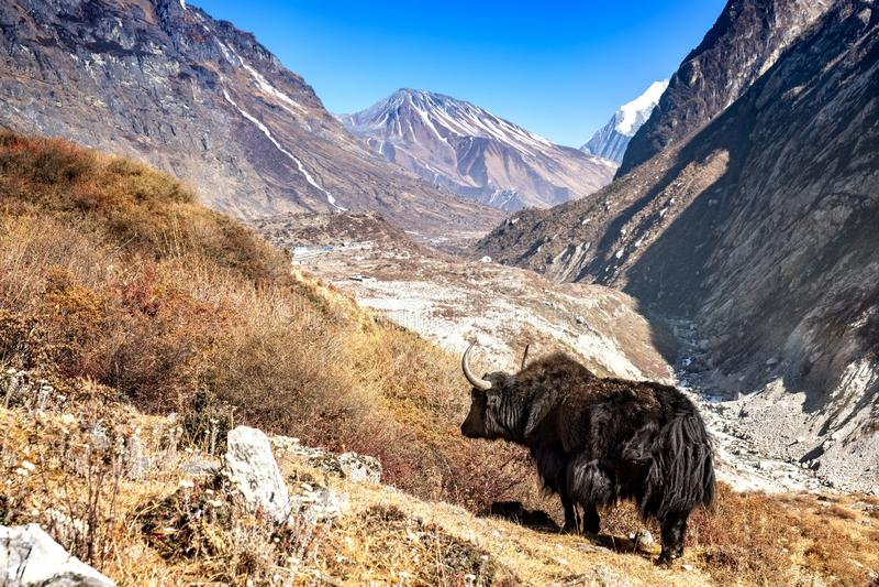Yak Langtang dolina Nepal fotografia stock