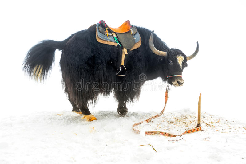 Yak mit Sattelstellung und angehobenem Endstück im Schnee ist stockbild