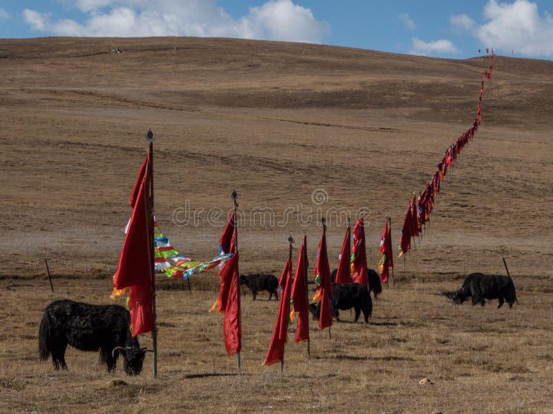 Yak na łąkowych i bezbrzeżnych górach, Zachodni Sichuan P zdjęcie stock