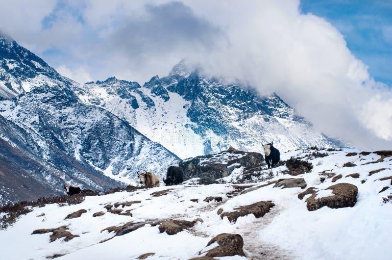 Yak nelle montagne immagini stock