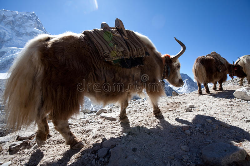 Yak in Nepal royalty free stock images