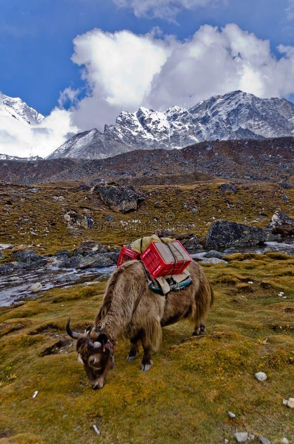 Yak in Nepal stockbild