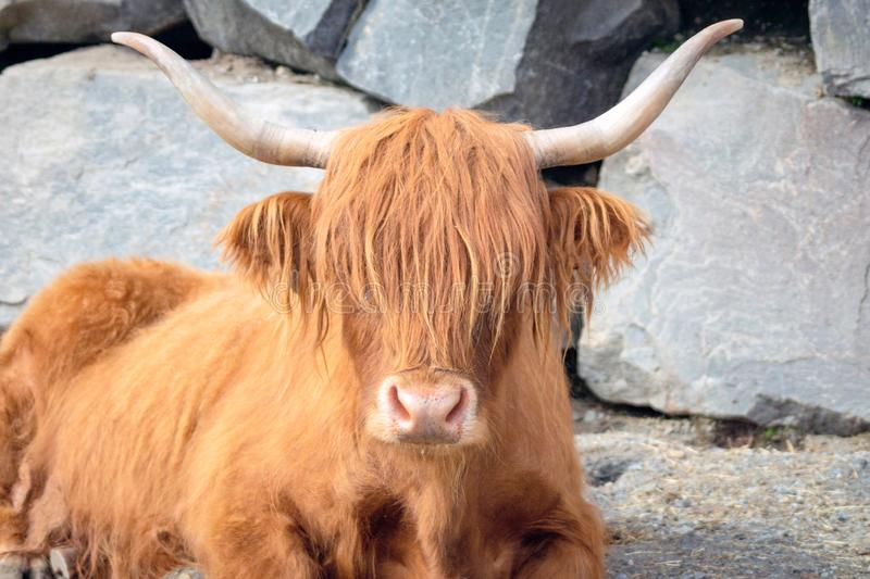Yak ox with alot of hair relaxing on gravel road with stone wall as background. stock photography