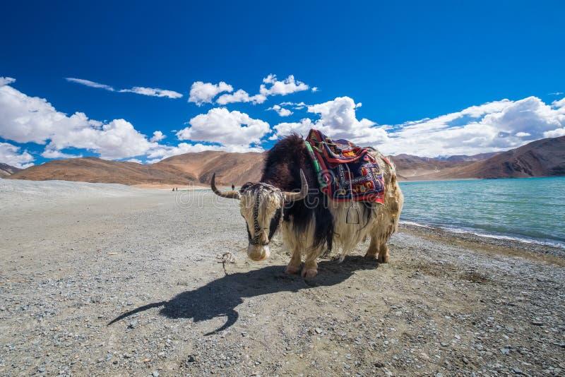 Yak am Pangong See in Ladakh, Indien lizenzfreies stockbild