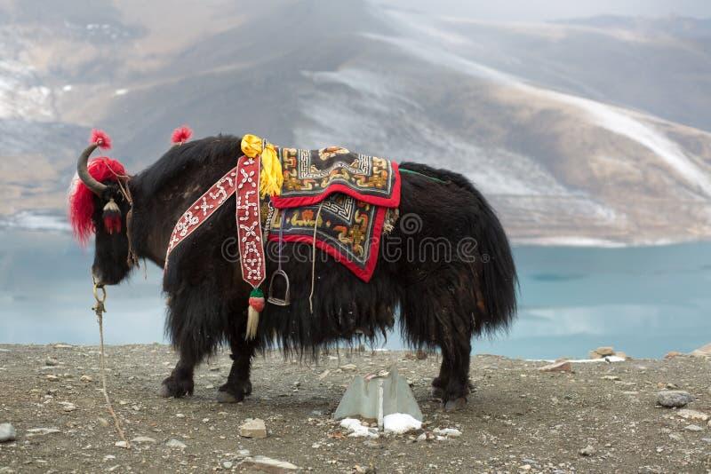 Yak przy Namtso jeziorem w Tybet obrazy royalty free