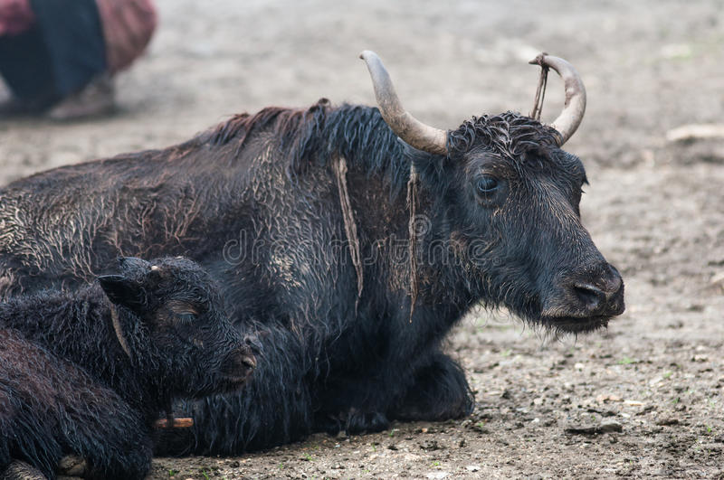 Yak's family is resting at a high-altitude nomad camp royalty free stock photo